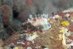 BD-130404-Tulamben-9697-Cypraea-sp5.-Linnaeus.-1758-[Cowry].jpg